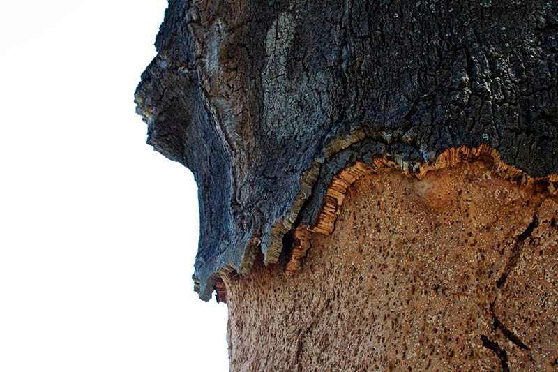 Corcho árbol corteza alcornoque